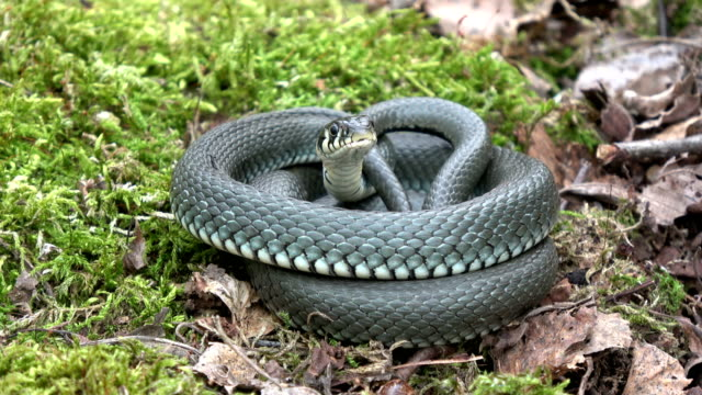 Ringed-grass-snake-Natrix-on-moss-in-spring