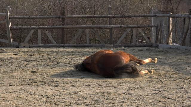 Hermoso-caballo-marrón-de-mentira-y-rodando-en-el-polvo