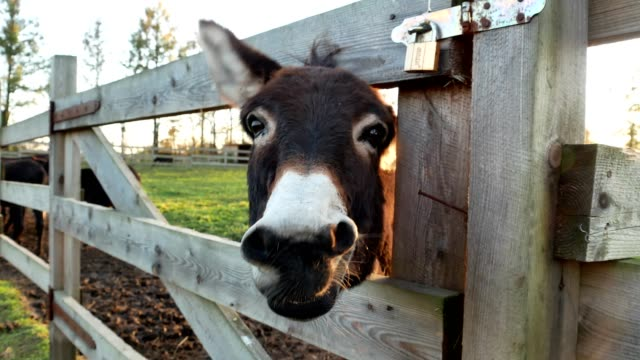 Junge-Esel-Nahaufnahme-grünen-Wiese-Bauernhof-Land-Ranch-Wiese