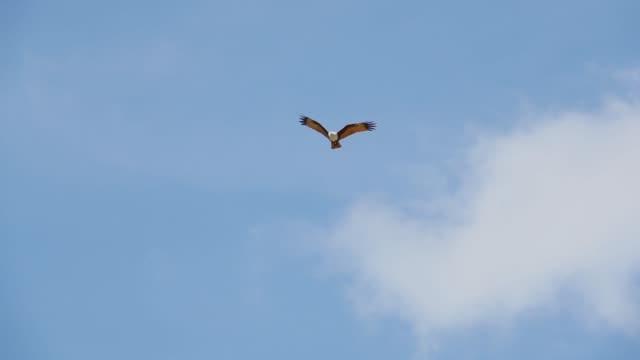 Bird-of-prey-in-flight-low-angle-view-