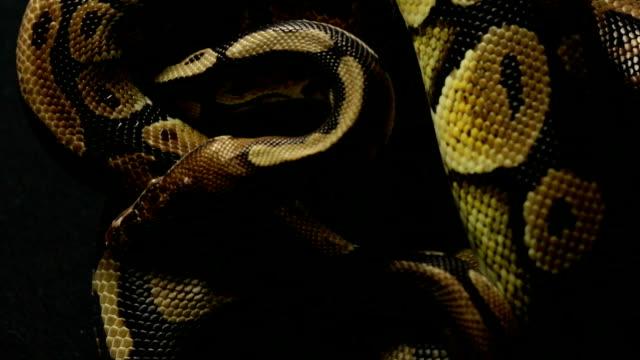 Pattern-of-ball-python-s-snakeskin