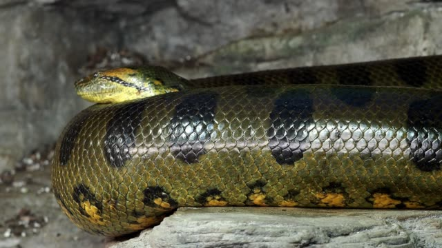 Anaconda-verde-(Eunectes-murinus)-Gran-anaconda-
