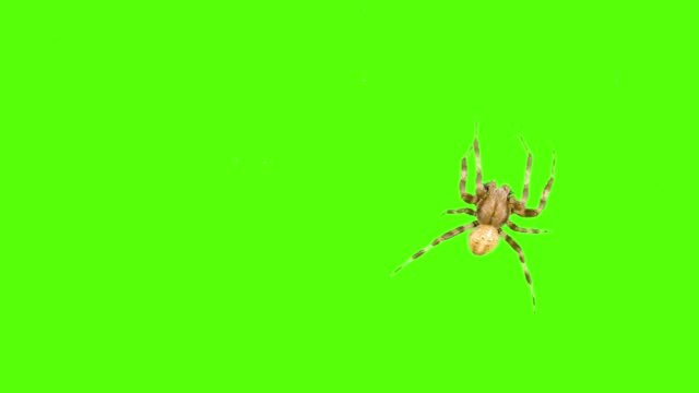 Funny-spider-crawls-on-the-screen-on-a-green-background-Logo-screensaver-One-click-selection-and-overlay-in-the-video-editor