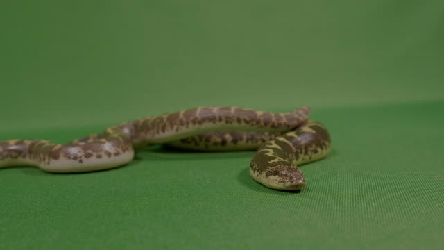 Frightening-snake-flicking-his-tongue-ready-to-strike