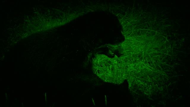 Visión-nocturna-captura-de-osos-lucha