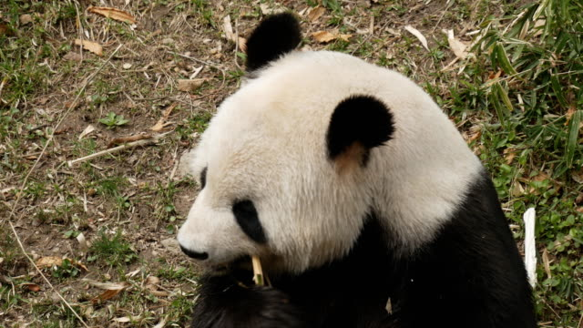 panda-gigante-alimentándose-de-bambú