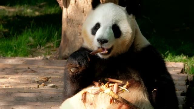 Giant-panda-bear-eating-bamboo