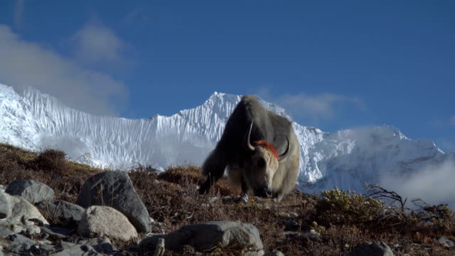 Yaks-in-the-Himalayas-
