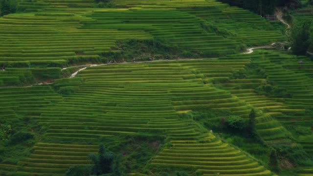 Tourists-walking-the-path-in-rice-paddy-terrace-fields-in-Sapa-Vietnam-Asia