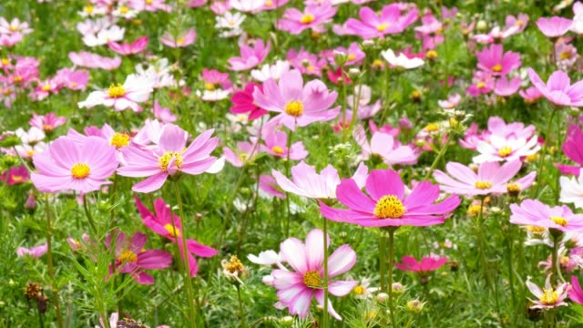 Beautiful-Cosmos-flowers-noon-day-sun