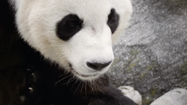 Retrato-de-un-oso-Panda-