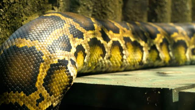 Cuerpo-en-movimiento-python-birmano