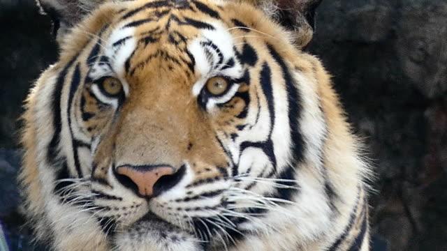 Eine-erstaunliche-Königstiger-hautnah-auf-Gesicht-in-Full-HD-video-auf-der-Suche-auf-der-rechten-Seite-der-Kamera-