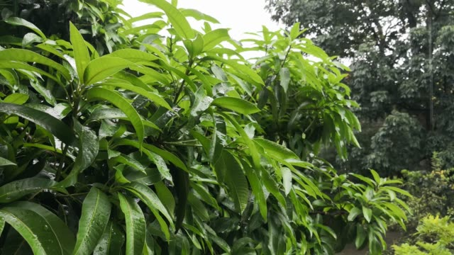 Torrential-rain-falling-on-the-green-leaves-of-a-mango-tree