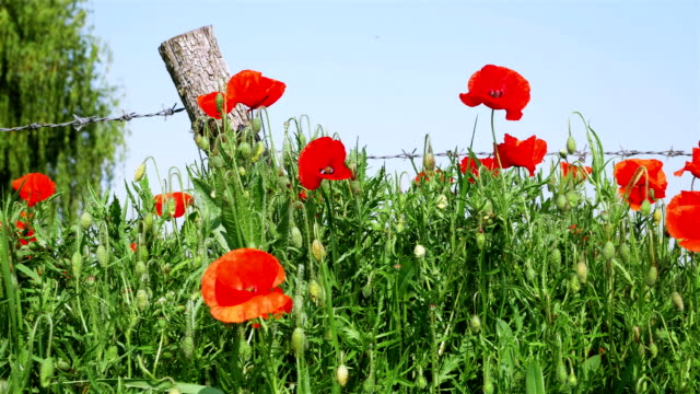 Ersten-Weltkrieg-Symbol:-rote-Blume-Mohn-und-Stacheldraht