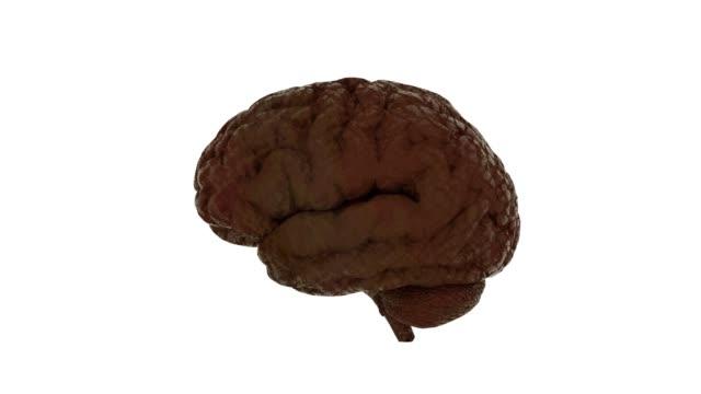 Anatomy-Brain---Slowly-Rotating-Isolated-on-White