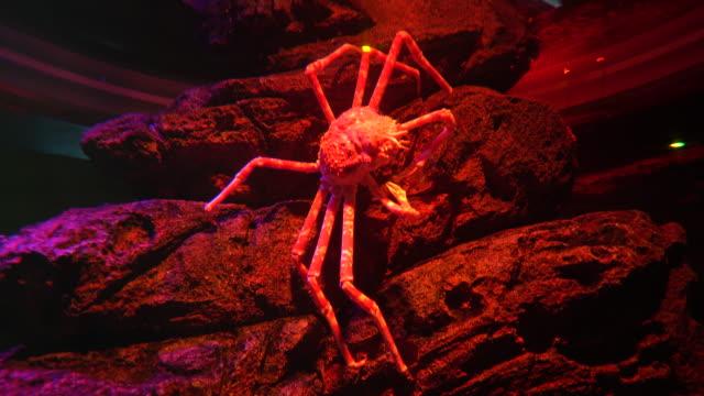 Gran-centollo-japonés-sobre-las-piedras-en-luz-roja