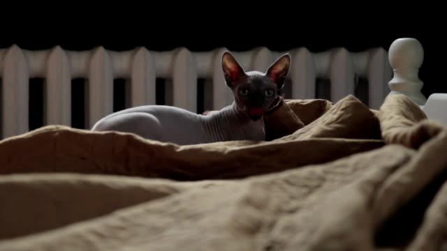 Sphinx-Cat-Plays-Crazy-on-bed