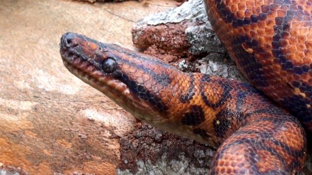Serpiente-roja-reptil-veneno-extremadamente-cerca-a-4k-video
