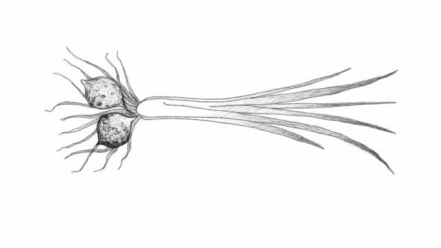 Hand-Drawn-of-Tigernut-Plant-Video-Clip