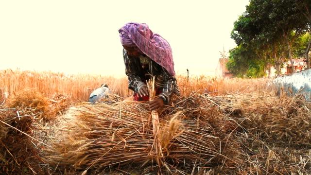 mujer-haciendo-manojos-de-trigo-en-campo