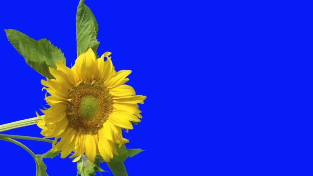Bee-sitting-on-a-flower-of-a-sunflower-which-has-yellow-petals-and-green-leaves-on-an-isolated-background-of-a-blue-screen