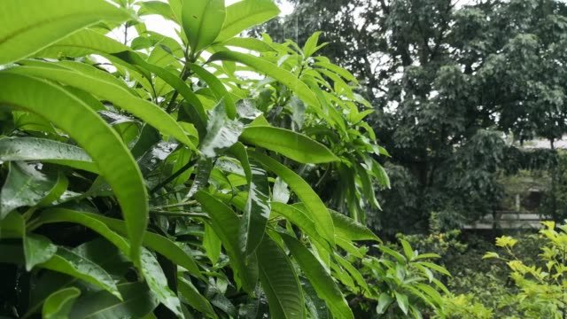 Strong-storm-falling-on-the-bright-green-leaves-of-a-mango-tree