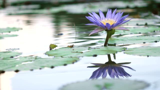 schöne-lila-Lotus-Seerose-Blume-im-Teich