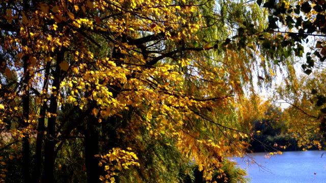 Árboles-de-otoño-amarillo-con-hojas-en-las-ramas-de-en-el-parque-de-río-o-lago