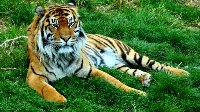 Porträt-des-Tigers-auf-dem-Rasen-liegend