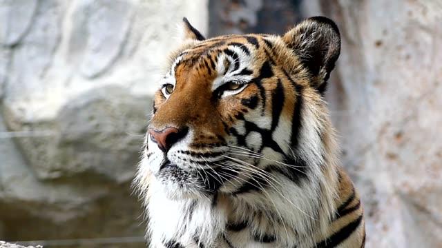 Tigre-lindo-en-la-naturaleza