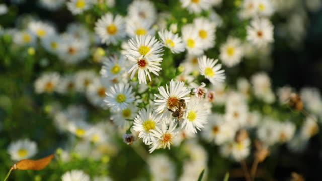 Pollen-weiße-Blume-und-Biene-fliegen-herum-sammeln-Nektar-eingefangen-super-langsam-Bewegung-120-fps-