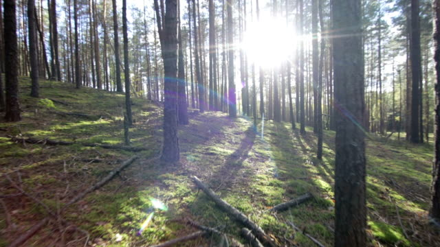 Moving-across-the-deep-pine-spruce-forest-POV-Shot-Sunlight-Lens-Flare
