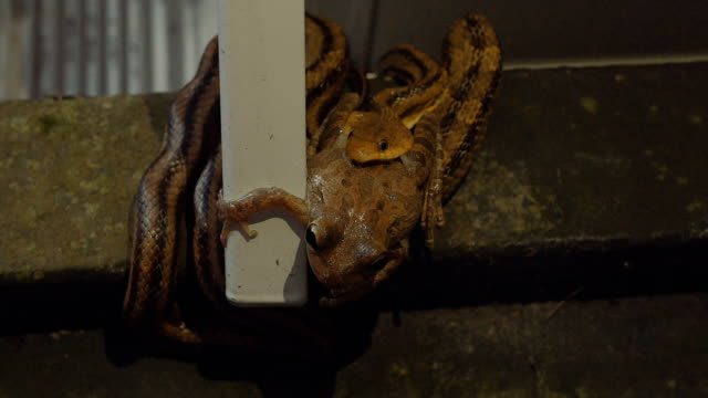 Leopard-Frog-Tries-to-Escape-the-Jaws-of-a-Rat-Snake