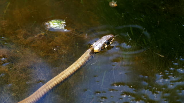 Grass-Snake-Crawling-in-the-River