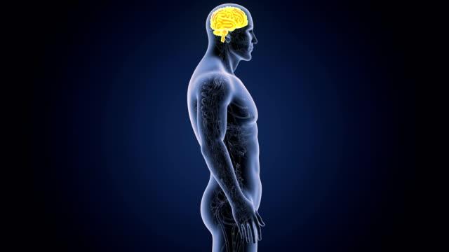 Cerebro-humano-con-el-sistema-circulatorio