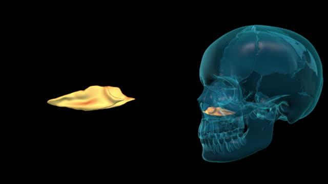 Lower-Nasal-Shell