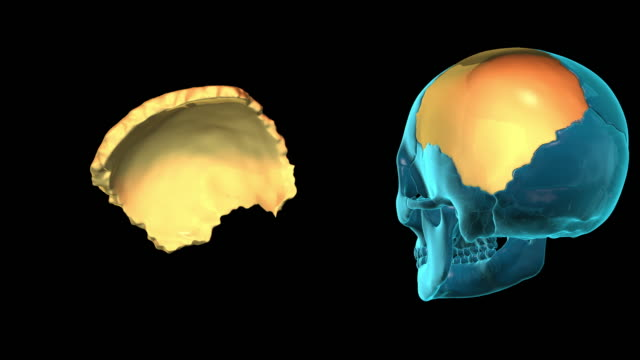 Parietal-Bone