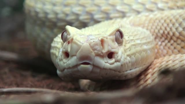 Rattlesnake-Close-Up-with-sound
