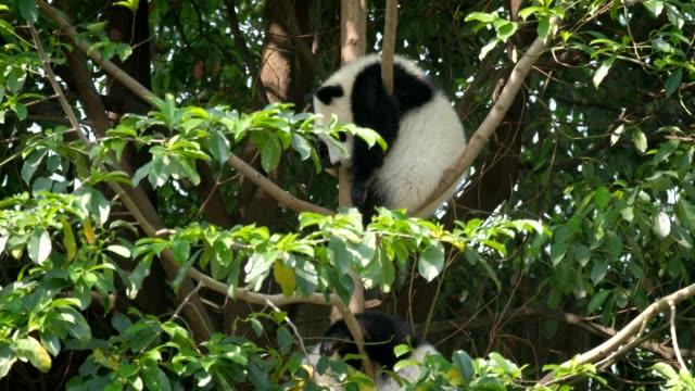 Cub-del-oso-panda-gigante-en-un-árbol