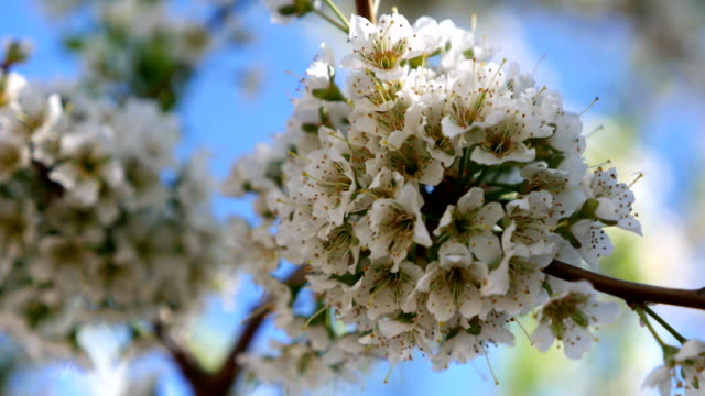 Blooming-cherry-blossoms-in-spring-Close-up-in-motion