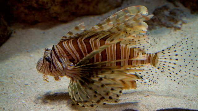 Lionfish-in-aquarium-4K-