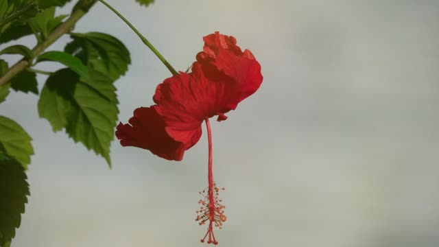 Five-petals-single-flowered-with-long-pistil-side-view-