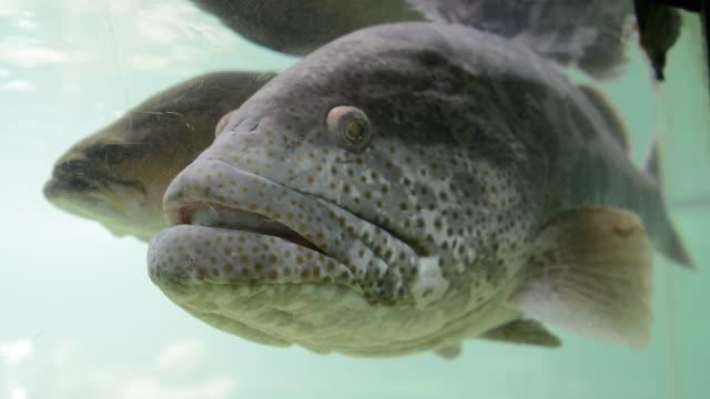 Mündung-Kabeljau-(Epinephelus-Coioides)