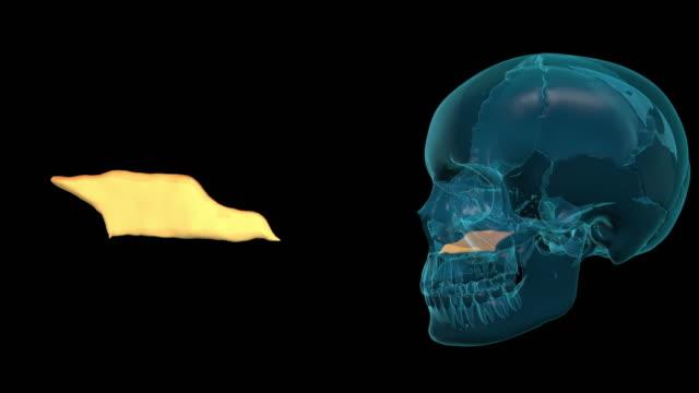 Vomer-Bone