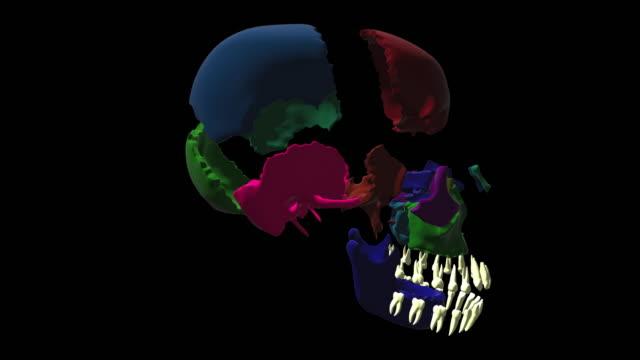 Human-skull-side-bones-Rotation