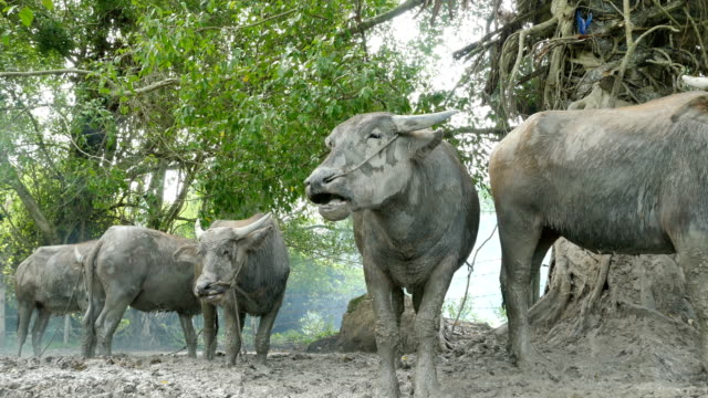 buffaloes-standing-on-the-mud-in-the-stall