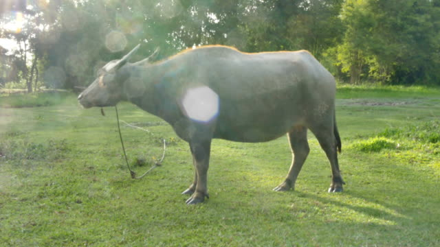 bokeh-on-buffalo-in-sunset-time