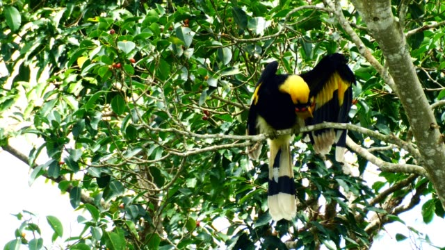Oriental-pied-hornbill-are-cleaning-feathers-themselves-on-tree-in-the-forest-