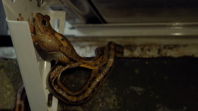 Rat-Snake-Eating-Leopard-Frog-on-Home-Exterior